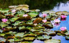 Il Lago Azzurro del Parco della Brughiera Briantea: Ninfee e Colori in un'atmosfera magica