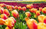 Tulipani Italiani: il più grande e colorato giardino di Tulipani d'Italia